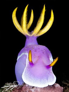 Nudibranch &quot;Hypselodoris bullockii&quot; by Nicholas Samaras 